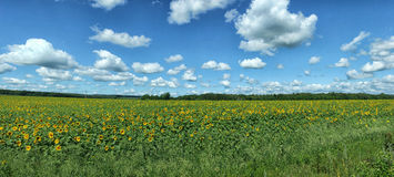 Panorama of sunflowers field under white clouds.  royalty free stock image