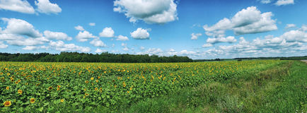 Panorama of sunflowers field under white clouds.  stock image