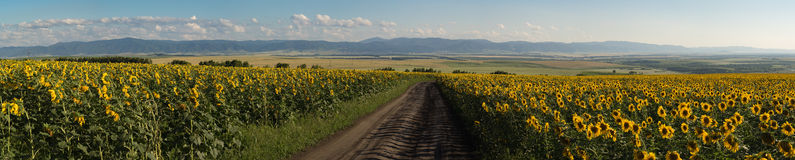 Panorama of sunflowers meadow, road between, mountains, fields and town on the back plan. Seven shots. Summer evening. Altai region. Old mountains slops Royalty Free Stock Photo