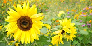 Panorama of sunflowers and wild flowers. In a meadow Royalty Free Stock Photos