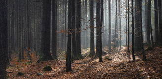 Panorama of sunlight in forest at autumn Royalty Free Stock Photo