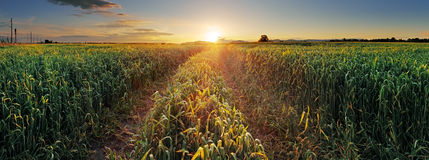 Panorama Sunset over wheat field with path Stock Photography