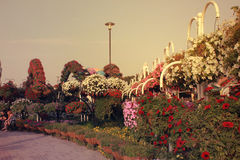 Panorama sunsetting view in miracle garden. Lots of  colorful small and cute flowers grown in Miracle Garden, Dubai. top most view of  flowers. prettiest nature Royalty Free Stock Photo