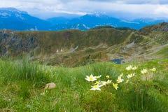 Panorama superiore della montagna Fiore di alpina del Pulsatilla Fotografie Stock