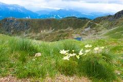 Panorama superiore della montagna Fiore di alpina del Pulsatilla Immagine Stock