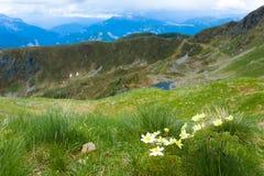 Panorama superiore della montagna Fiore di alpina del Pulsatilla Immagini Stock
