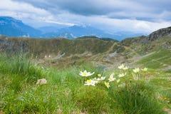 Panorama superiore della montagna Fiore di alpina del Pulsatilla Fotografia Stock Libera da Diritti