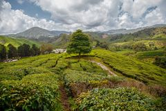 Lonely tree in a field of tea plantation standing near green hills under scenic sky royalty free stock images