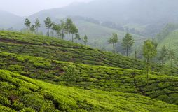 Panorama of Tea plantations in Kerala, South India Royalty Free Stock Image