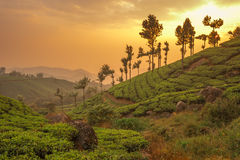 Tea plantations in Munnar, Kerala, India royalty free stock images