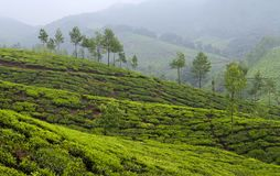 Panorama of Tea plantations in Kerala, South India Stock Photo