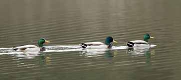 Panorama of three male mallards. A panoramic image of three male mallards swimming in a straight line in Hauser Lake, Idaho Royalty Free Stock Photo