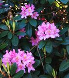 Panorama with three pink rodendrons in the city park.  stock images