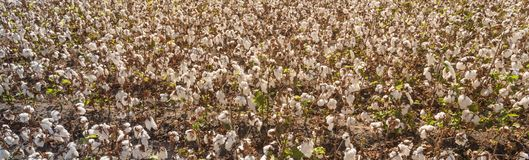 Row of cotton fields ready for harvesting in South Texas, USA. Panorama top view full frame of cotton fields ready for harvesting in Corpus Christi, Texas, USA royalty free stock photos