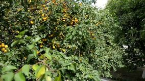 Tree of aliche with yellow fruit. Panorama of the tree from top to bottom.On the tree are yellow fruits and green leaves on the branches stock footage