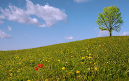 Panorama with tree and tulips Royalty Free Stock Image