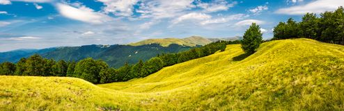 Panorama with trees on the grassy hillside. Panorama of trees on the grassy hillside. Svydovets mountain ridge in the distance. beautiful summer afternoon nature royalty free stock images