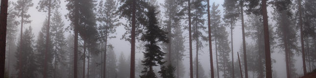Panorama of Trees in Mist. Black and white panorama of trees in mist. Captured in California Sierra Nevadas Stock Image