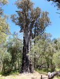 Panorama of Tuart tree in  National Park Stock Image