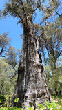 Panorama of Tuart tree in  National Park Royalty Free Stock Photo