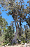 Panorama of Tuart tree in  National Park Stock Images