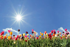 Panorama tulip field, blue sky with sunshine Stock Images