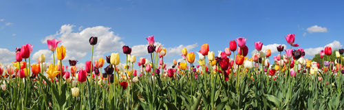 Panorama tulip field Stock Photo