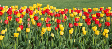 Panorama Tulip Flower Border. Panorama of red and yellow tulips against green grass background royalty free stock photo