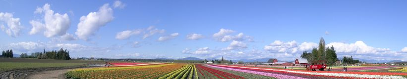 panorama tulipan zdjęcie stock