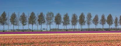 Panorama tulipanu pole wzdłuż treeline Obraz Stock