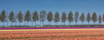 Panorama of tulips field along a treeline Stock Image