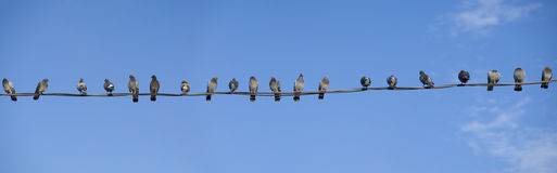 Panorama of twenty pigeons Royalty Free Stock Photography