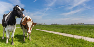 Panorama of two Holstein cows royalty free stock photo