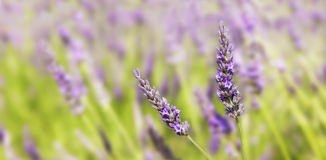 Panorama on two sprigs of lavender Royalty Free Stock Image