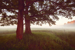 Panorama under old oak trees at misty foggy summer morning vintage style Stock Photo