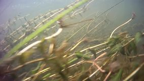 Panorama under water, River algae. Shooting under water. The river in the European part of Russia stock video footage