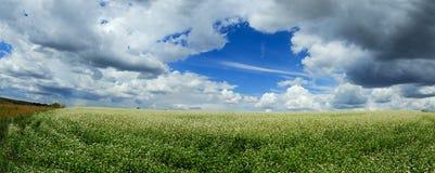 Panorama van bloeiende witte bloemen van buckwheatfagopyrum het groeien op landbouwgebied op een achtergrond van blauwe hemel met stock afbeeldingen