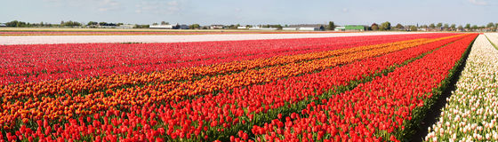 Panorama van bloemgebieden Stock Foto
