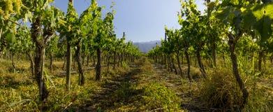 Panorama van Chileense Argentijnse wijngaard in de zomer Panorama stock foto