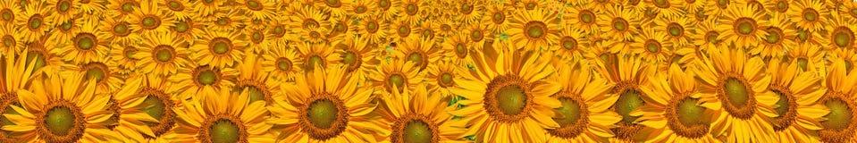 Panorama van de grote zonnebloemen Royalty-vrije Stock Foto's