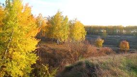 Panorama van de herfstlandschap met gouden berk stock video