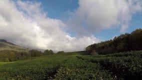 Panorama van de theeaanplantingen in de bergen Tegen de achtergrond van een blauwe hemel De herfst stock video