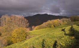 Panorama van de theeaanplantingen in de bergen Tegen de achtergrond van een stormachtige hemel De herfst stock foto