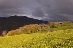 Panorama van de theeaanplantingen in de bergen Tegen de achtergrond van een stormachtige hemel De herfst royalty-vrije stock fotografie