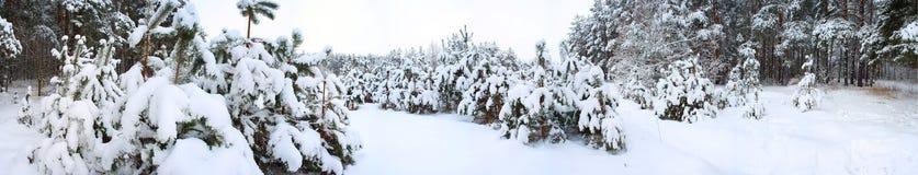 Panorama van de winterbos. Stock Fotografie