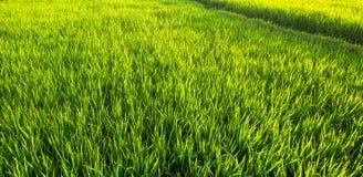 Panorama van een groen padieveld Royalty-vrije Stock Foto's
