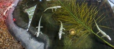 Panorama van een Groep Baby Albino American Alligators stock fotografie
