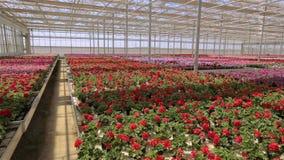 Panorama van een grote moderne serre Grote heldere serre met een transparant dak en bloeiende bloemen stock footage