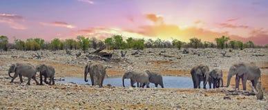 Panorama van een kudde van olifanten bij een waterhole bij zonsondergang Royalty-vrije Stock Afbeelding