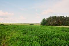 Panorama van groen gebied en heldere hemel, gras op de lenteachtergrond, het landbouwgewas van het graangewassengraangewas stock afbeelding